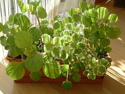 Planta dólar - Plectranthus
