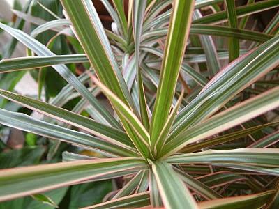 Plantas de interior - Dracaena marginata