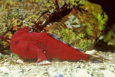 new-handfish-species-fish-red_20878_600x450.jpg