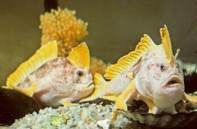 new-handfish-species-fish-ziebells_20880_600x450.jpg