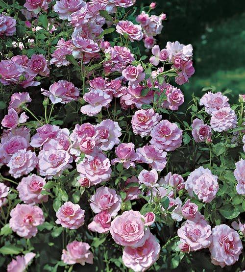 Hartwood Roses: Fake Flowers On Friday