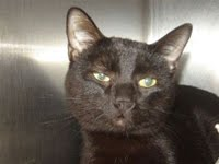 Adoptable Kitty: Shadow