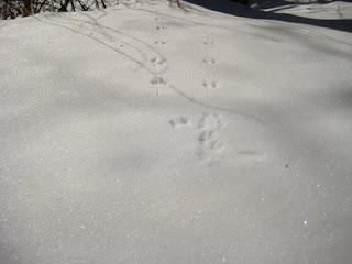 tracks - mice?