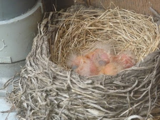 pile of robin babies