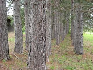 John Pine's Pines