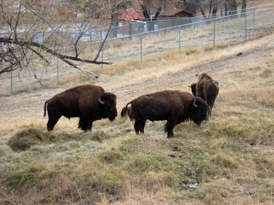 Kendrick Park bison