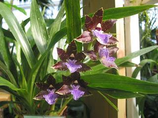 Zygopetalum image 200 for Orchidee da esterno