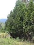 Para empezar, bosque de pino colombiano