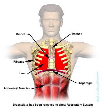 external image Respiratory-System.jpg