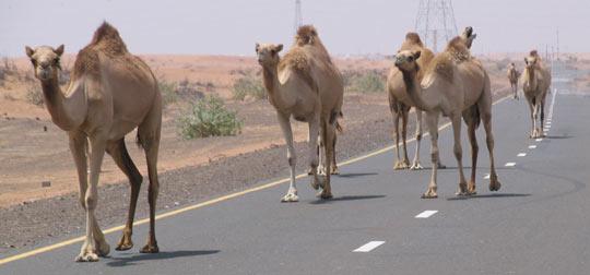 [camels.jpg]