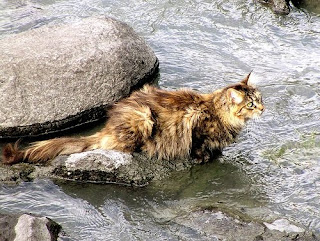 Goldenstar <finished> Cat+in+river