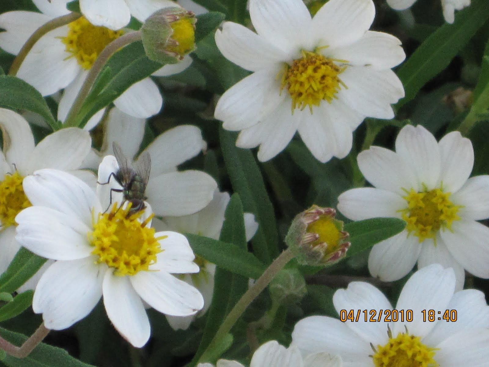 All About Me N Crafts Blackfoot Daisy Update