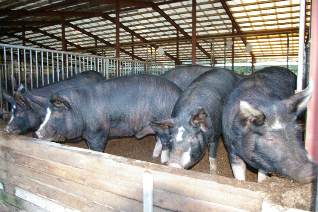 Poultry Production News European Pig Farmers Gain End Of
