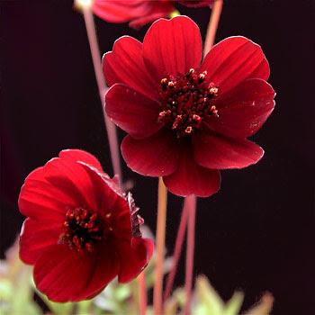 flores+roja