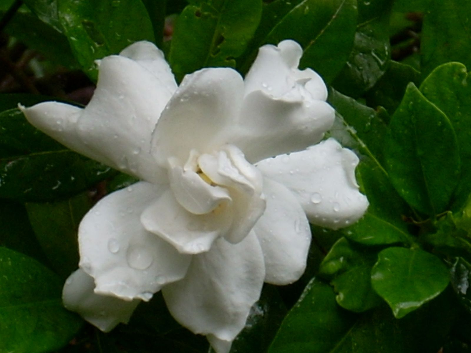 how to bring a gardenia back to life