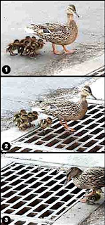 Ducklings fall into storm drain through grate