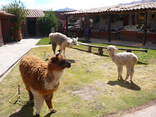 Llamas and alpaca at San Pablo