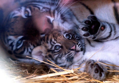 Fiona Bernard: All Baby Tigers Are Cute.