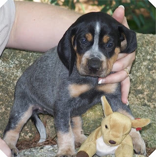 Bluetick Coonhound Puppy