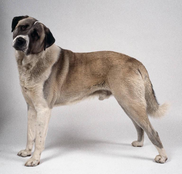 PUPPY CARE CENTER: Anatolian Shepherd Dog Puppy Care ...