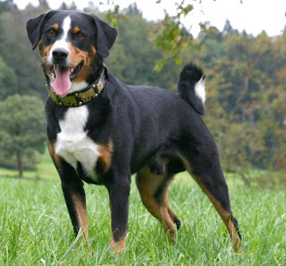 Appenzeller Sennenhund Switzerland Dog