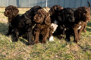 Barbet Puppies Picture