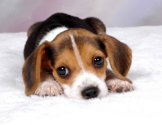 Beagle England Puppies