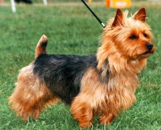 Australian Terrier Dog Picture