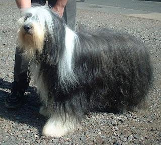 Bearded Collie Scotland Dog Image