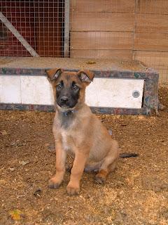 Belgian Shepherd Dog (Laekenois) Puppies