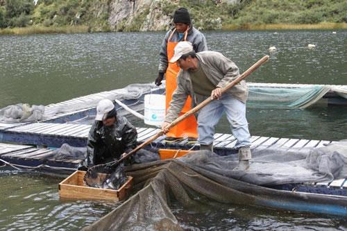 Pima piura crianza de truchas de gran calidad se for Crianza de truchas en estanques