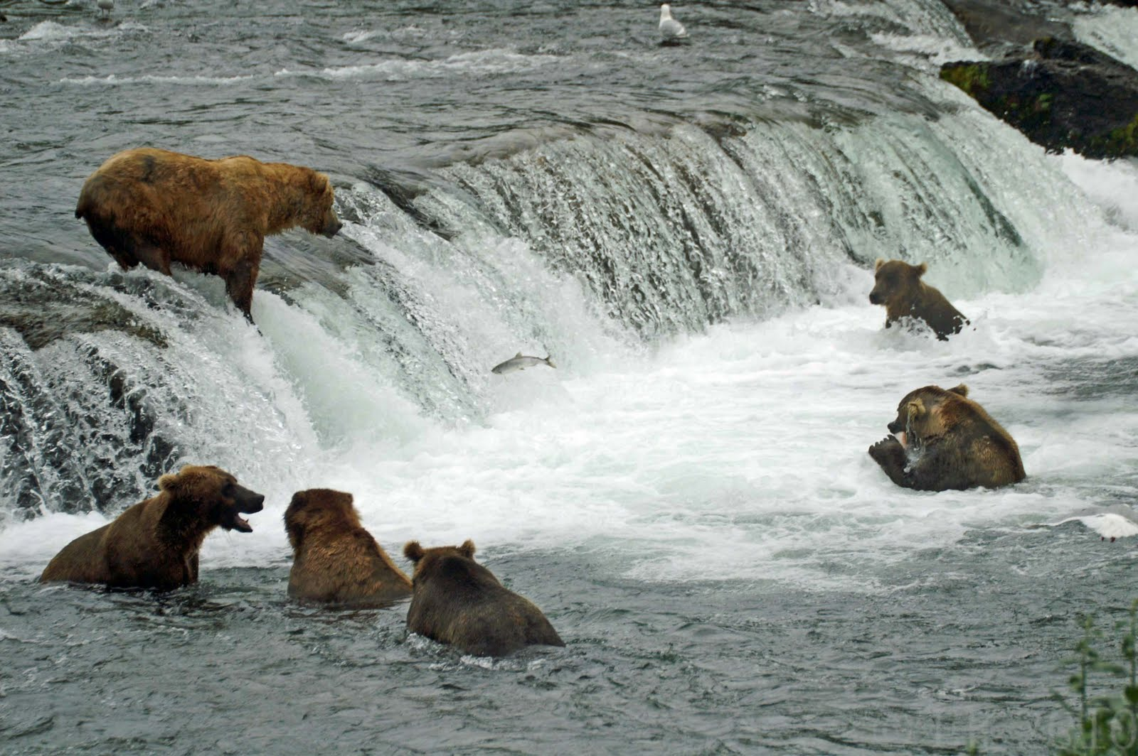 Arctic Fever Adventure And Ordinary Travel Tips The Brown Bears - 32 bears decided try human
