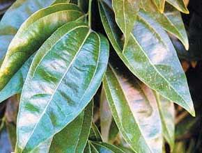 Las hojas for Ejemplos de arboles de hoja perenne