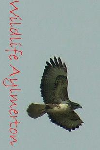 wildlifeaylmerton