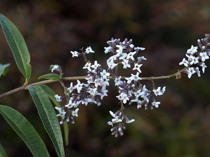 Алоизия трехлистная выращивание 27