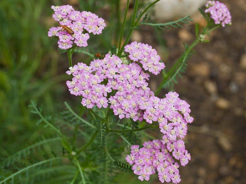 Flora ornamental hort cola y medicinal achillea for Jardin botanico medicinal