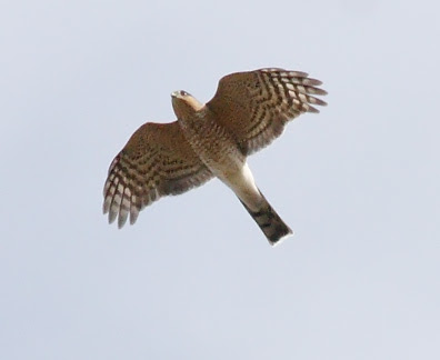 Ecobirder: Sharp-shinned and other raptors at Hawk Ridge   396 x 324 jpeg 13kB
