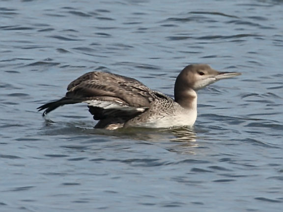 common loon drawing. Immature Common Loon