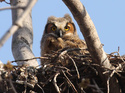 great horned owl chicks in nest