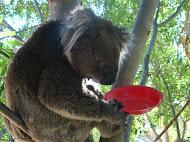 Cuddles the Koala