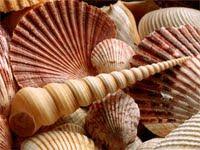 Κοχύλια των ελληνικών θαλασσών