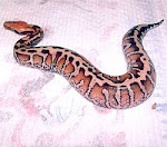 Extreme Tiger Blood Phyton