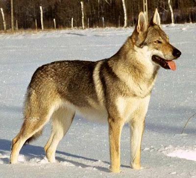 Kunming Wolf Dog