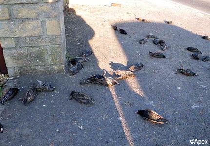 birds dead mystery
