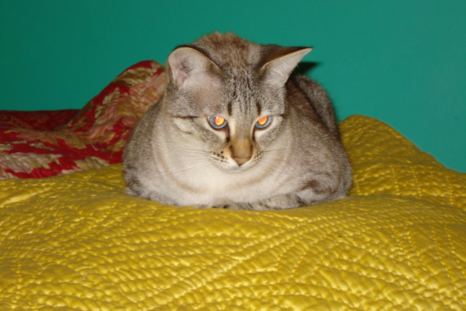 Siamese Bengal Cross