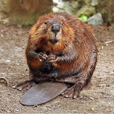 Canadian beavers