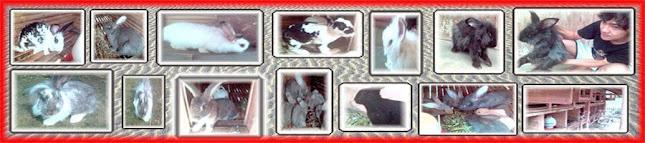 kelinci didikan Nusakambang