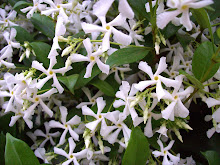 Close-up of Star Jasmine