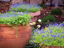 Pots of Blue Lobelia