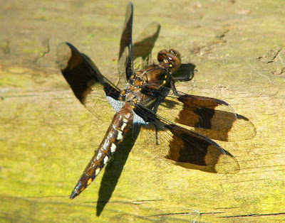 Four-spotted Skimmer, Four-spotted Chaser, Libellula quadrimaculata